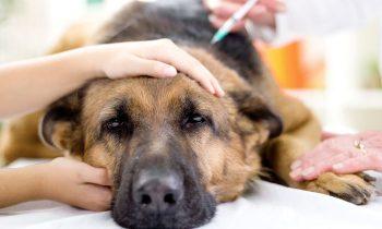 Vaccination kæledyr